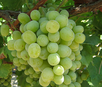 Autumn King Green Seedless